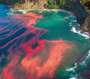 """A bloom of Karenia brevis viewed from the air. This """"crimson tide"""" is only composed of small dinoflagellates, but it can have devastating consequences for a coastal ecosystem. Source: http://microbewiki.kenyon.edu/index.php/File:Red_tide_genera.jpeg"""